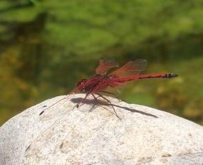 Red-dragonfly-at-pool-small